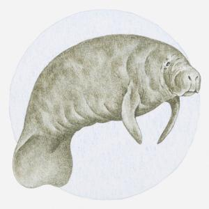 Illustration of a Manatee (Trichechus Sp.) Underwater by Dorling Kindersley