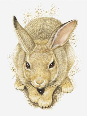 Illustration of a Wild Rabbit (Oryctolagus Cuniculus) by Dorling Kindersley