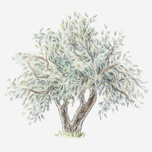 Illustration of an Olive Tree by Dorling Kindersley