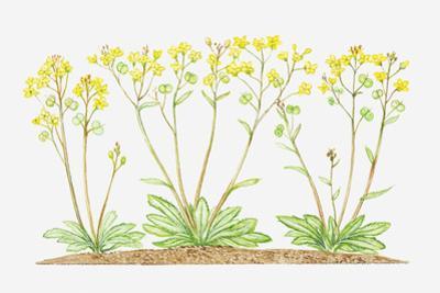 Illustration of Biscutella Laevigata (Buckler Mustard), Yellow Flowers
