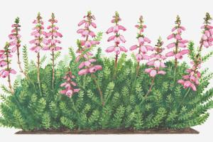 Illustration of Erica Ciliaris (Dorset Heath), Pink Flowers by Dorling Kindersley