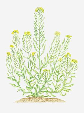 Illustration of Erysimum Cheiranthoides (Treacle-Mustard), Leaves and Yellow Flowers on Branching S by Dorling Kindersley