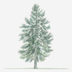 Illustration of Evergreen Abies Borisii-Regis (King Boris Fir) Tree by Dorling Kindersley