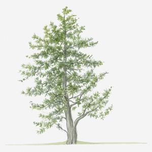 Illustration of Evergreen Juniperus Foetidissima (Stinking Juniper) Tree by Dorling Kindersley