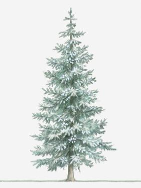 Illustration of Evergreen Picea Pungens (Blue Spruce) Tree by Dorling Kindersley