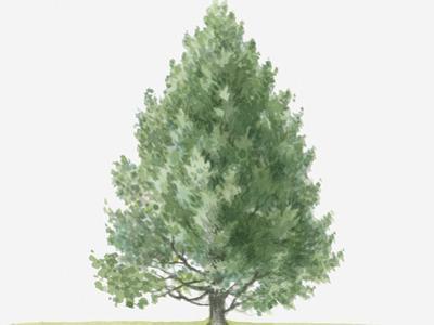 Illustration of Evergreen Pinus Mugo Subsp. Uncinata (Mountain Pine) Tree