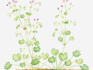 Illustration of Geranium Pyrenaicum (Hedgerow Crane's-Bill), Leaves an Pink Flower on Long Stems by Dorling Kindersley