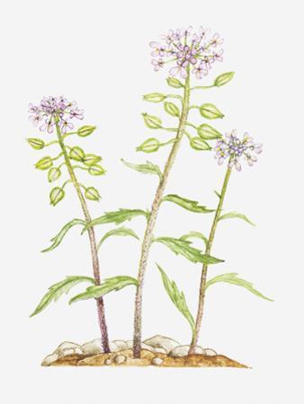 Illustration of Iberis Amara (Rocket Candytuft, Bitter Candytuft), Wildflowers