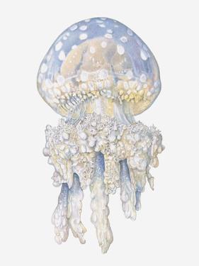 Illustration of Lagoon Jellyfish (Mastigias Papua) by Dorling Kindersley