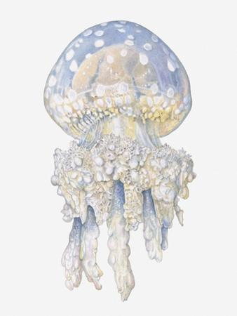 Illustration of Lagoon Jellyfish (Mastigias Papua)