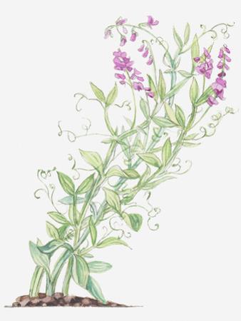 Illustration of Lathyrus Latifolius (Broad-Leaved Everlasting-Pea), Leaves and Pink Flowers on Long