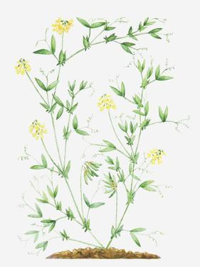 Illustration of Lathyrus Pratensis (Meadow Vetchling), Leaves and Yellow Flowers on Slender Stems by Dorling Kindersley