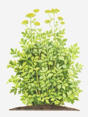 Illustration of Levisticum Officinale (Lovage), Foliage and Yellow Flowers by Dorling Kindersley