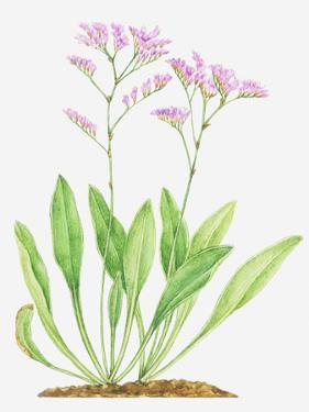 Illustration of Limonium Vulgare (Common Sea-Lavender), Leaves and Pink Flowers by Dorling Kindersley