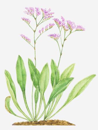 Illustration of Limonium Vulgare (Common Sea-Lavender), Leaves and Pink Flowers