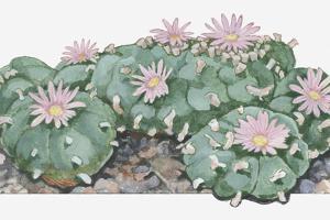 Illustration of Lophophora Williamsii (Peyote) Cactus Woth Pink Flowers by Dorling Kindersley