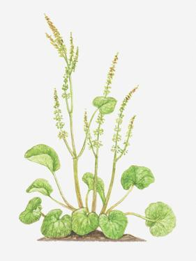 Illustration of Oxyria Digyna (Mountain Sorrel), Flower Spikes and Leaves by Dorling Kindersley