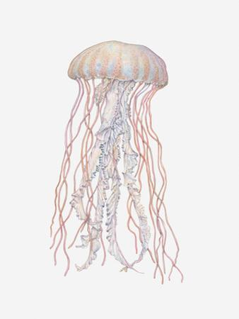 Illustration of Pacific Sea Nettle (Chrysaora Fuscescens)