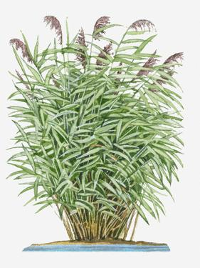 Illustration of Perennial Phragmites Australis (Common Reed) Grass Bearing Panicles of Purple Flowe by Dorling Kindersley