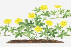 Illustration of Potentilla Reptans (Creeping Cinquefoil), Leaves and Yellow Flowers on Branching St by Dorling Kindersley