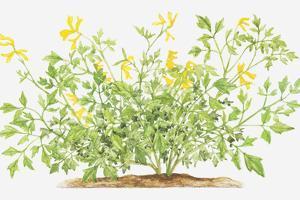 Illustration of Pseudofumaria Lutea (Yellow Cordialis), Wildflowers by Dorling Kindersley