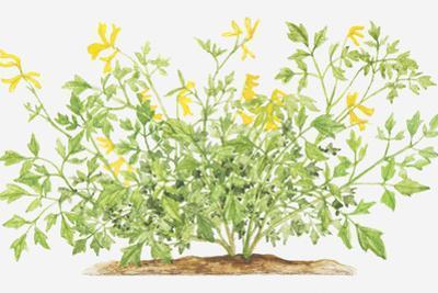 Illustration of Pseudofumaria Lutea (Yellow Cordialis), Wildflowers