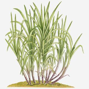 Illustration of Saccharum Officinarum (Sugarcane) Bearing Multiple Stems from Lateral Shoots at Bas by Dorling Kindersley