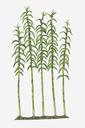 Illustration of Sesamum Indicum (Sesame) Bearing Lanceolate Leaves on Tall Stems