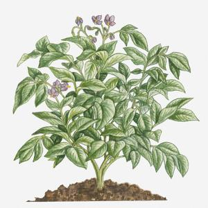 Illustration of Solanum Tuberosum (Potato) Bearing Purple Flowers with Yellow Stamen and Green Leav by Dorling Kindersley