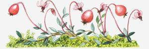 Illustration of Vaccinium Oxycoccos (Common Cranberry) by Dorling Kindersley