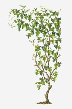 Illustration of Vitis Vinifera (Common Grape Vine) Bearing Bunches of Ripe Green Fruit by Dorling Kindersley