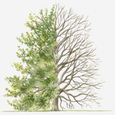 Illustration Showing Shape of Deciduous Carpinus Orientalis (Oriental Hornbeam) Tree with Green Sum