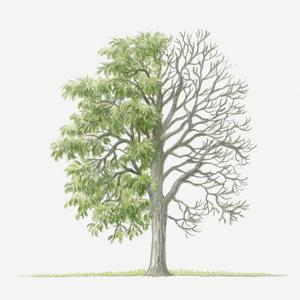 Illustration Showing Shape of Pyrus Amygdaliformis (Almond-Leaved Pear) Tree with Green Summer Foli by Dorling Kindersley