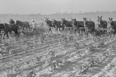 Cultivating Cotton