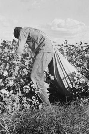 Migratory Field Worker Picking Cotton