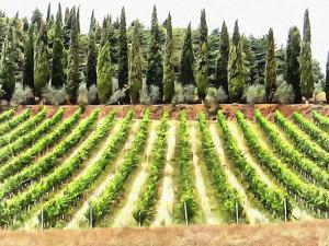 Cypresses and A Vineyard In Umbria by Dorothy Berry-Lound
