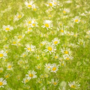Daisy Meadow by Doug Chinnery