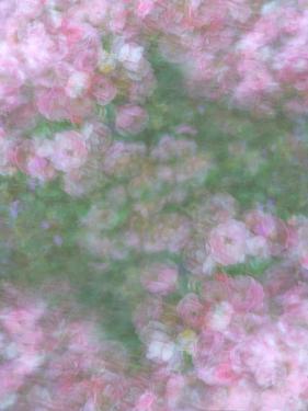 English Rose III by Doug Chinnery