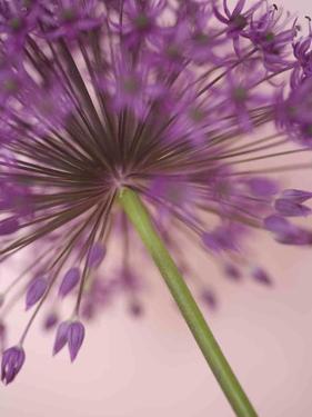 Purple Haze 5 by Doug Chinnery