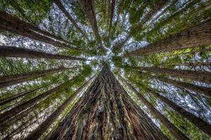 California Redwoods, Sequoia Sempervirens, in a Forest Valley by Doug Gimesy