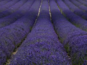 Lavender Fields. by Doug McKinlay