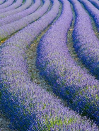 Lavender Field Near Valensole, Provence-Alpes-Cote D'Azur, France by Doug Pearson