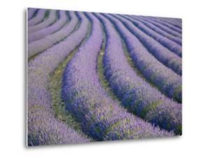 Lavender Field, Provence-Alpes-Cote D'Azur, France by Doug Pearson