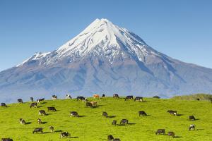 Mount Taranaki (Egmont) and Grazing Dairy Cows, Taranaki, North Island, New Zealand by Doug Pearson