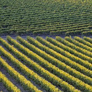 Vineyards, Cognac Region, Charente, Poitou Charentes, France by Doug Pearson