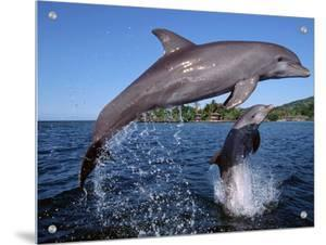 Bottlenose Dolphins Leaping, Roatan, Bay Islands, Honduras by Doug Perrine