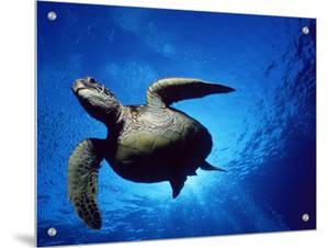 Green Turtle Swimming, Hawaii, Pacific Ocean, Underside View by Doug Perrine