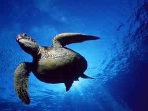Green Turtle Swimming, Hawaii, Pacific Ocean, Underside View by Doug Perrine