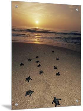 Kemp's Ridley Turtle Hatchlings Head for the Sea from Protected Nests, Rancho Nuevo, Gulf of Mexico by Doug Perrine
