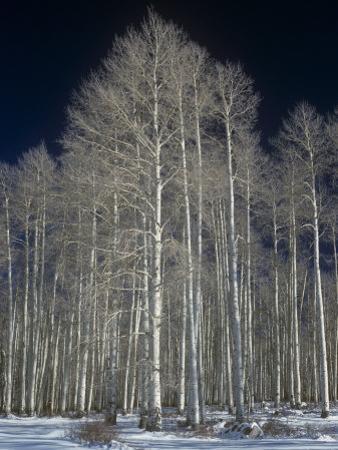 Aspen Clone in the Winter, Populus Tremuloides, Western USA